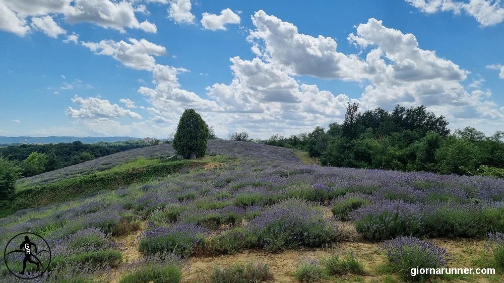 Lavanda in Monferrato, tra le colline nuovi colori che ricordano la Provenza