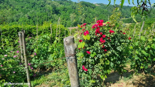 Rose nelle vigne tra San Damiano e Tigliole